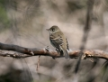 03ruby-crowned-kinglet0908a
