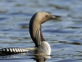 Black-throated diver - kuikka