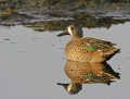 Blue-winged teal - sinisiipitavi