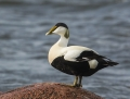 Common eider - haahka