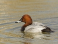 Common pochard - punasotka