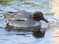 Common teal - tavi