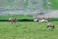 Great bustard - isotrappi