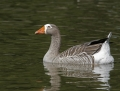 Greater white-fronted goose - tundrahanhi