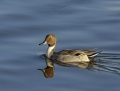 Northern pintail - jouhisorsa