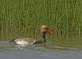 Red-crested pochard - punapäänarsku