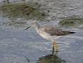 13-greater-yellowlegs1010c