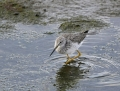 14-greater-yellowlegs1010b
