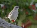 42-northern-mockingbird1010g