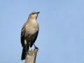 43-northern-mockingbird1010d