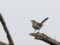 44-northern-mockingbird1010e