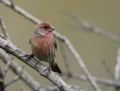 46-house-finch1010c