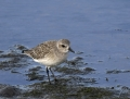 52-black-bellied-plover1010d