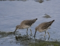 53-short-billed-dowitcher1010d
