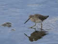 54-short-billed-dowitcher1010c