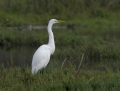 55-great-egret1010a