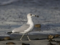 56-ring-billed-gull1010c