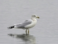 56a-ring-billed-gull1010b