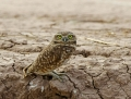 63-burrowing-owl1010a