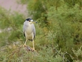68a-night-heron1010b