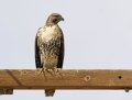 71-red-tailed-hawk1010c