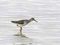78-lesser-yellowlegs1010a