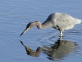 8-little-blue-heron1010c