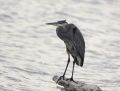 85-great-blue-heron1010b