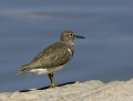 95-spotted-sandpiper1010a