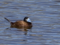 White-headed duck - valkopääsorsa